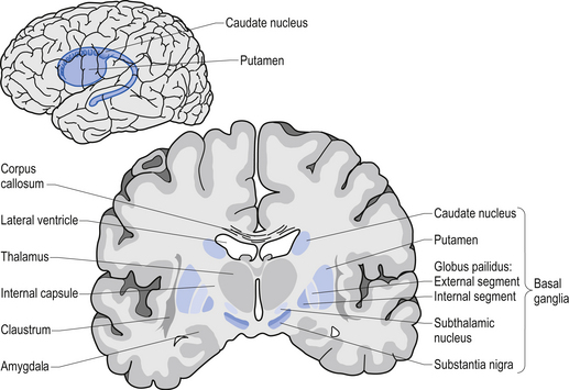 Basal Ganglia The Science Of Parkinsons