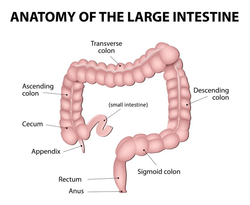 appendix-and-surrounding-anatomy-enlarged
