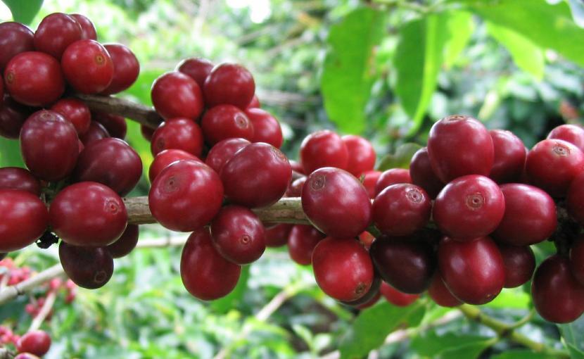 coffeeberry_1338562952_62