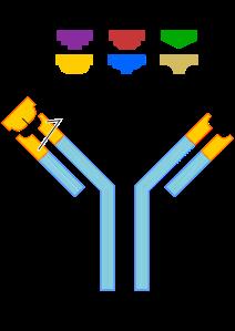 2000px-Antibody.svg