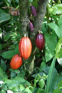 800px-cocoa_pods