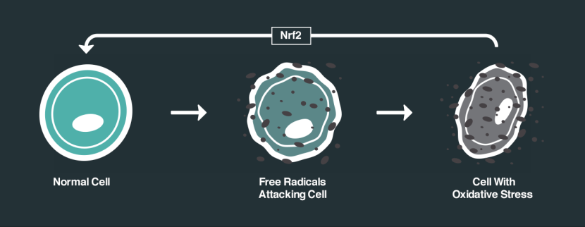 nrf2-effects-on-cells