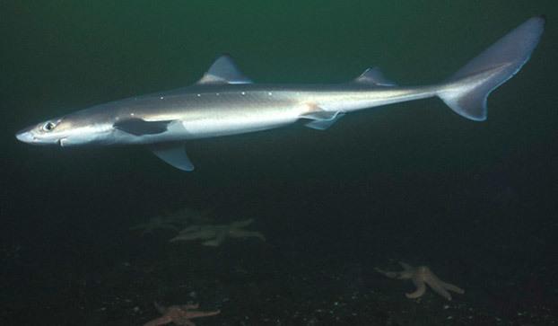 spiny-dogfish-shark-622x363
