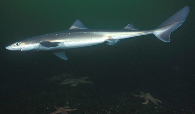 spiny-dogfish-shark-622x363