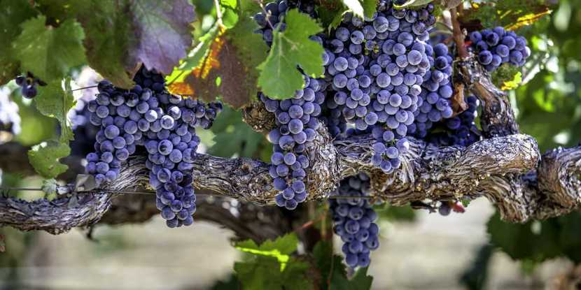 vc_spotlightsonoma_breaker_winegrapes_stock_rf_525141953_1280x640