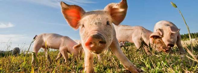 web_pigs_istock_000016714387_large