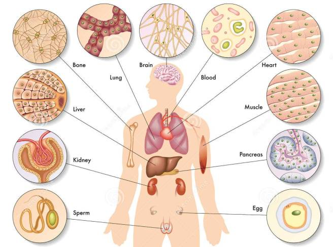 human-body-cells-25962548