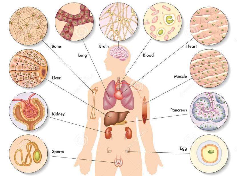 human-body-cells-25962548