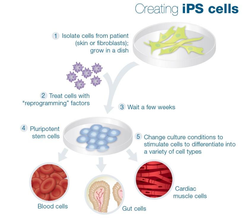 ips-cells