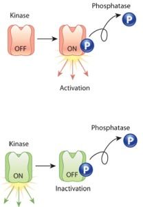 U2CP5-4_Phosphorylation_revised