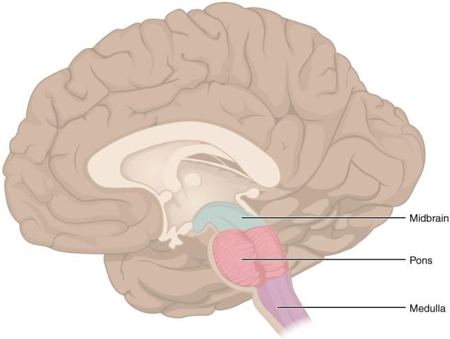1311_Brain_Stem