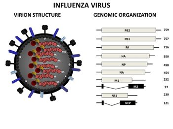 martinez-influenza-virus