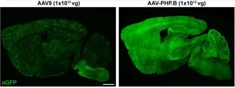 Cre-dependent selection yields AAV variants for widespread ...