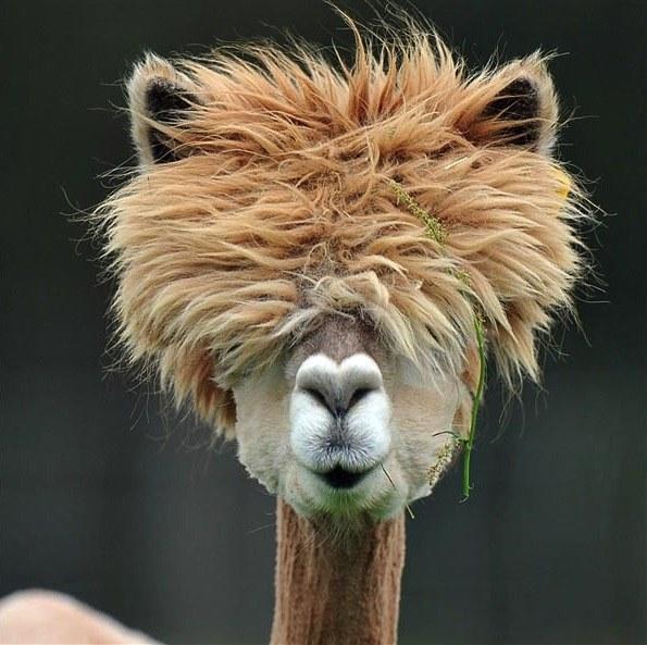 llamas-and-haircuts-prince-harry1