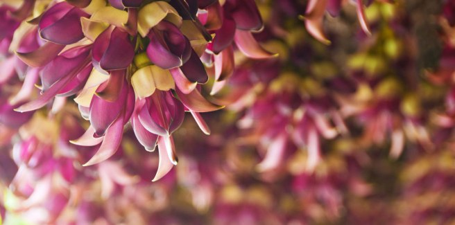 Mucuna-Pruriens-Mood-and-Hormone-Velvet-Bean