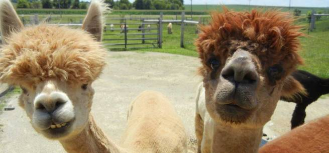 other-spit-long-farm-llama-animals-alpacas-alpaca-neck-animal-soft-furry-llamas-happy-picture-water-1366x768