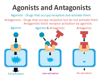 Agonists_and_antagonists