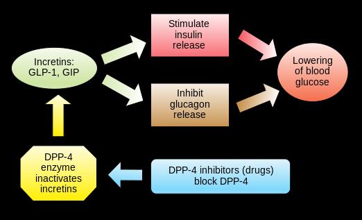 Incretins_and_DPP_4_inhibitors.svg