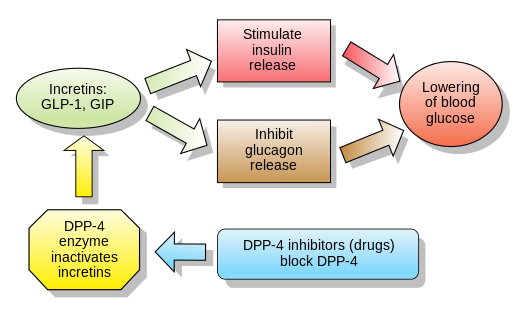 Incretins_and_DPP_4_inhibitors.svg