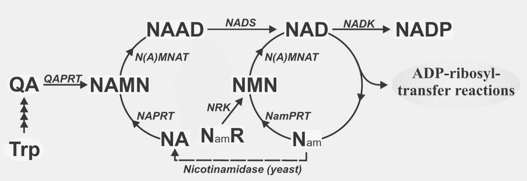 Nicotinamide mononucleotide | The Science of Parkinson's
